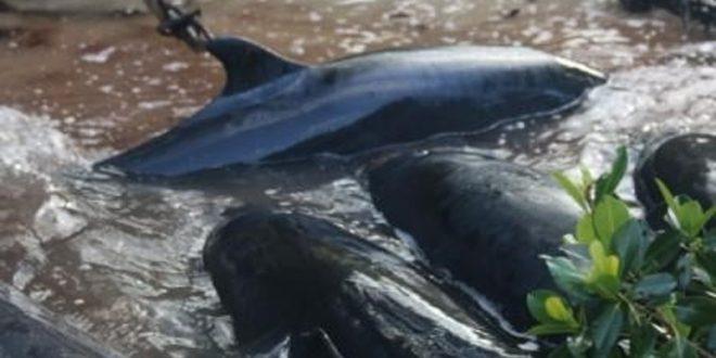 "Mysterious stranding kills 81 false killer whales In Florida ""Photo"""