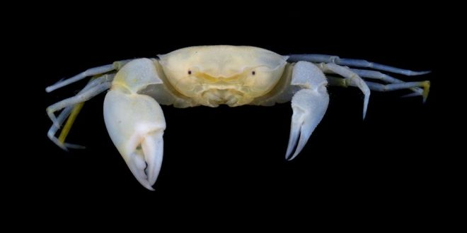 New species of crab named after Harry Potter (Photo)