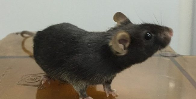 Researchers activate 'kill switch' in mice (Video)