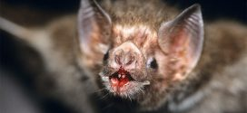 Vampire Bats Are Drinking Human Blood in Brazil, Says New Research