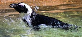 Climate change and fishing create 'trap' for African penguins, says new research