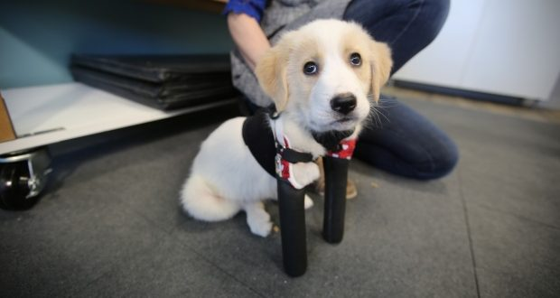 Cupid: Two-legged puppy takes first steps with prosthetic legs (Video)