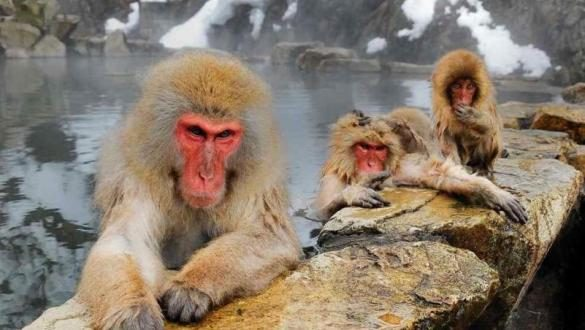 Japanese zoo culls 57 macaques carrying 'invasive' genes