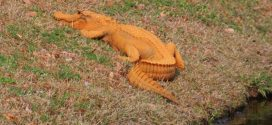 "Orange alligator gets snapped in South Carolina ""Photo"""