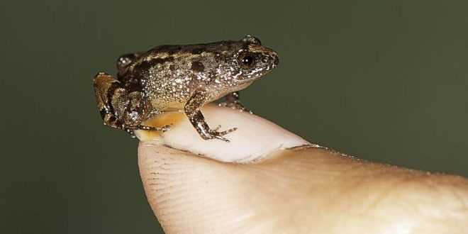 Researchers discover four species of tiny frogs in India