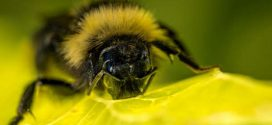 Researchers train bumblebees to score goals with tiny footballs for treats (Video)