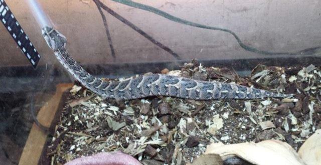 Snakes stolen from Thorold residence