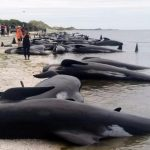 Whales beached on New Zealand coast, bringing total to 650