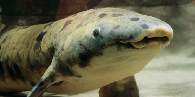 Granddad the lungfish, the oldest fish in captivity dies at shedd aquarium
