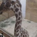 Animal watch: Zoo Officials Say April the Giraffe is 'at the end of the pregnancy'