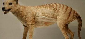Back from the dead? Scientists renew search for extinct Tasmanian Tiger