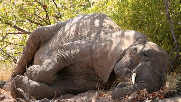Elephants sleep for just two hours a day – the least of any mammal, says new research