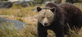 Future survival of BC's grizzly bears at risk, says new report