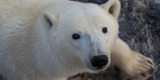How will global warming affect polar bears?