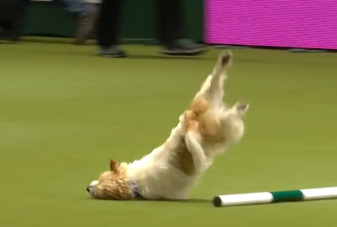 Olly the Terrier wins fans everywhere with his awful run at dog show (Video)