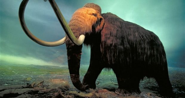 Researchers May Have Discovered Why The Wooly Mammoth Died Out