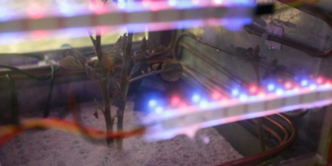Scientists grow potato in lab simulating harsh Mars climate