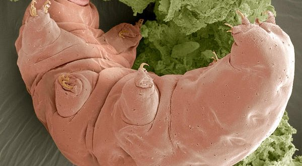 Unstructured Proteins Help Tardigrades Survive Desiccation, Says New Research