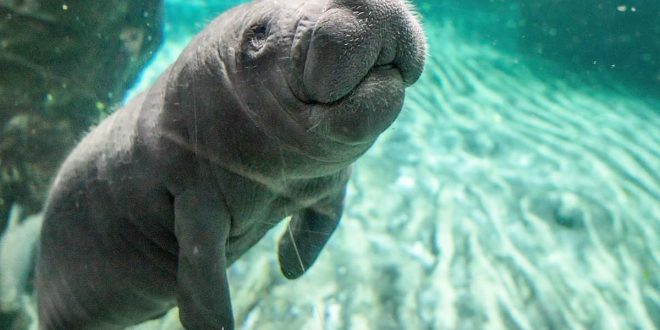 Manatee Removed From Endangered Species List: Officials