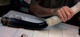 Marvel or monster? Scientists find first live specimen of fabled giant shipworm