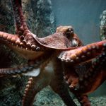 Octopuses can basically edit their own genes on the fly, says new research
