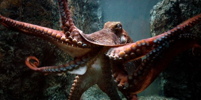 Octopuses can basically edit their own genes on the fly, says new study