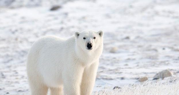 Research confirms polar bears follow their nose through wind to find ringed seals