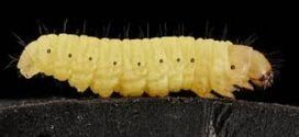 Scientists Discover a Caterpillar that Can Eat Plastic