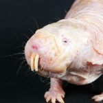 Scientists Find Yet Another Reason Why Naked Mole-Rats Are Just Weird