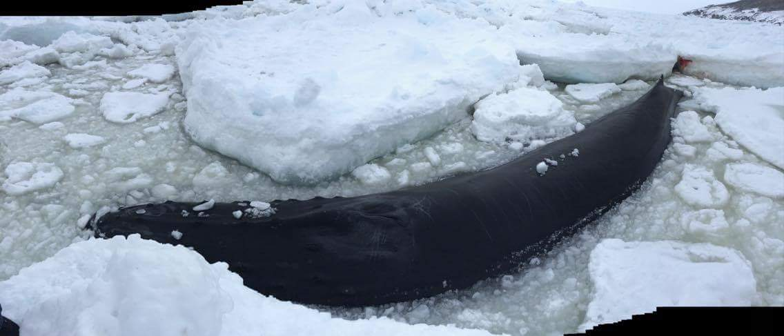 whale trapped in ice near old perlican for third day