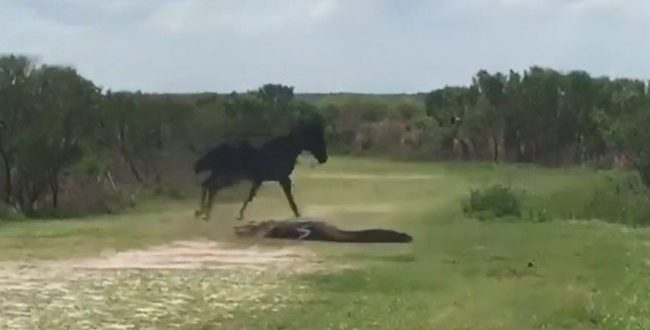 "Wild horse attacks alligator in dramatic video ""Watch"""