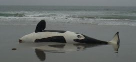 Dead orca found with extremely high levels of PCBs, Says new research