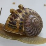 Jeremy the lefty snail loses out to love rival (Picture)