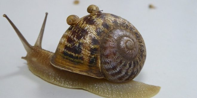 Jeremy the lefty snail loses out to love rival (Photo)