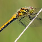 Research Shows Female Dragonflies Fake Death to Avoid Sex