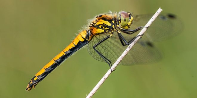 New Research Shows Female Dragonflies Fake Death to Avoid Sex