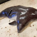 Researchers discover a two-headed porpoise (Photo)