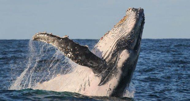 Researchers claim whales were once top tier predators