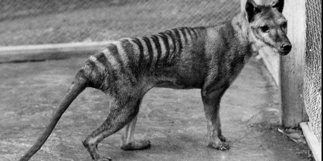 Drought killed off Tasmanian tiger, says new research