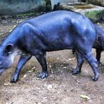 Endangered Species: Nicaragua fights to save tapirs