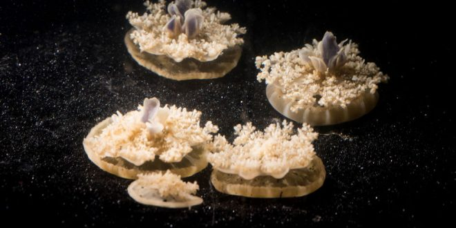 Researchers Discover Jellyfish Sleep Even Though They Don't Have Brains (Video)
