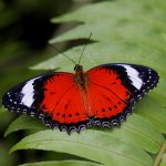 Researchers decode butterfly pattern secret