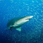 Sharks and rays live a lot longer than we thought, says new research