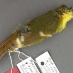 Elusive songbird may never have actually existed, finds new research