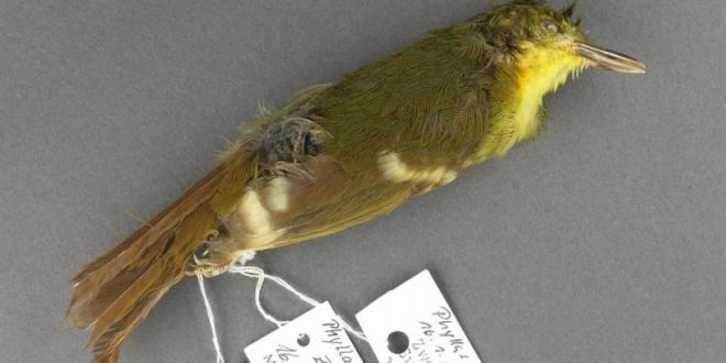 Elusive songbird may never have actually existed, says new research