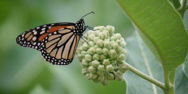 How Milkweeds Can Save Monarch Butterflies
