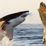 New Research Shows That Alligators Have Begun Eating Sharks