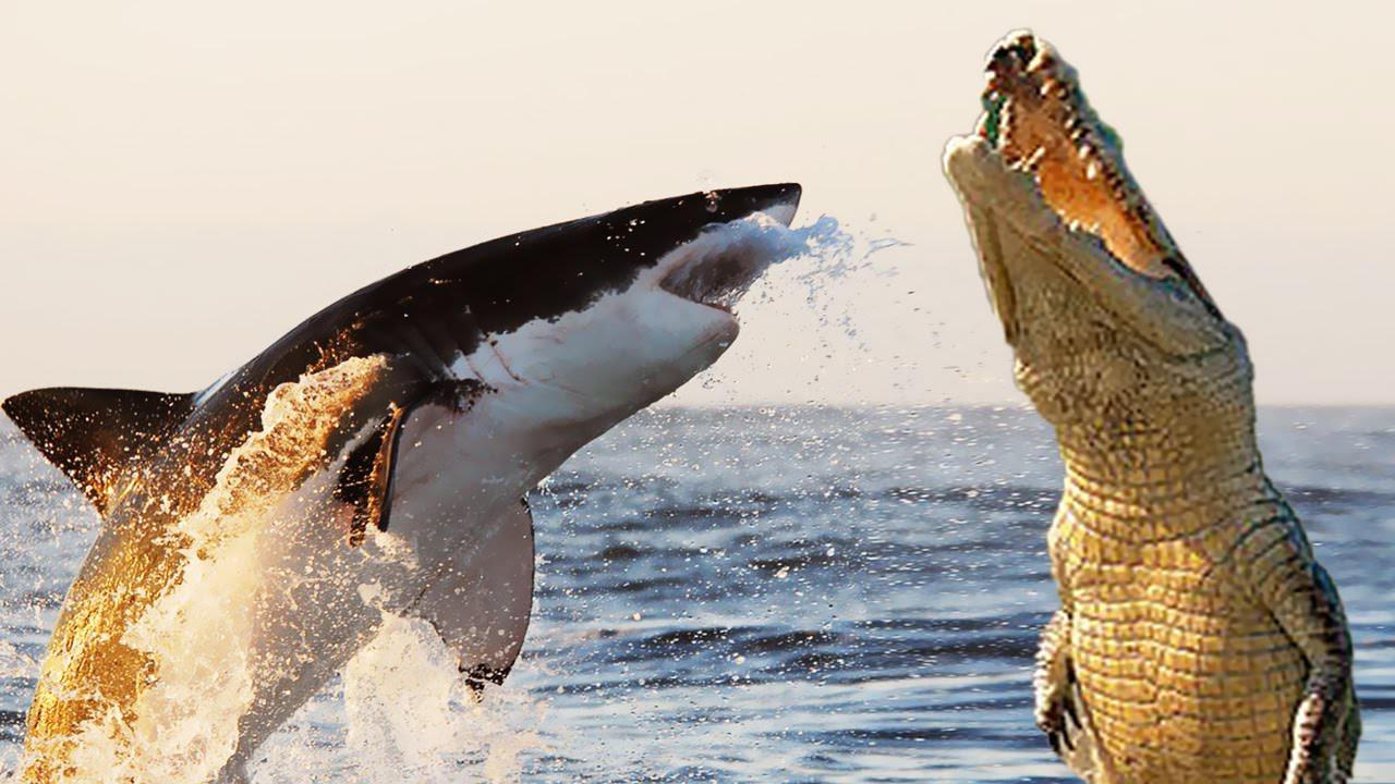 Гребнистый крокодил или большая белая акула