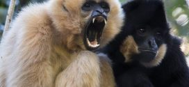 The last common ancestor of humans was like a gibbon, finds new research