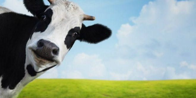 Researchers Underestimated How Bad Cow Farts Are